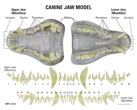 1196 Clear Canine Jaw