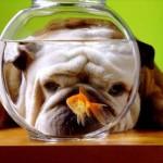 Buldog i ribica u akvarijumu