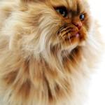 marko,persijske macke,kucni ljubimci