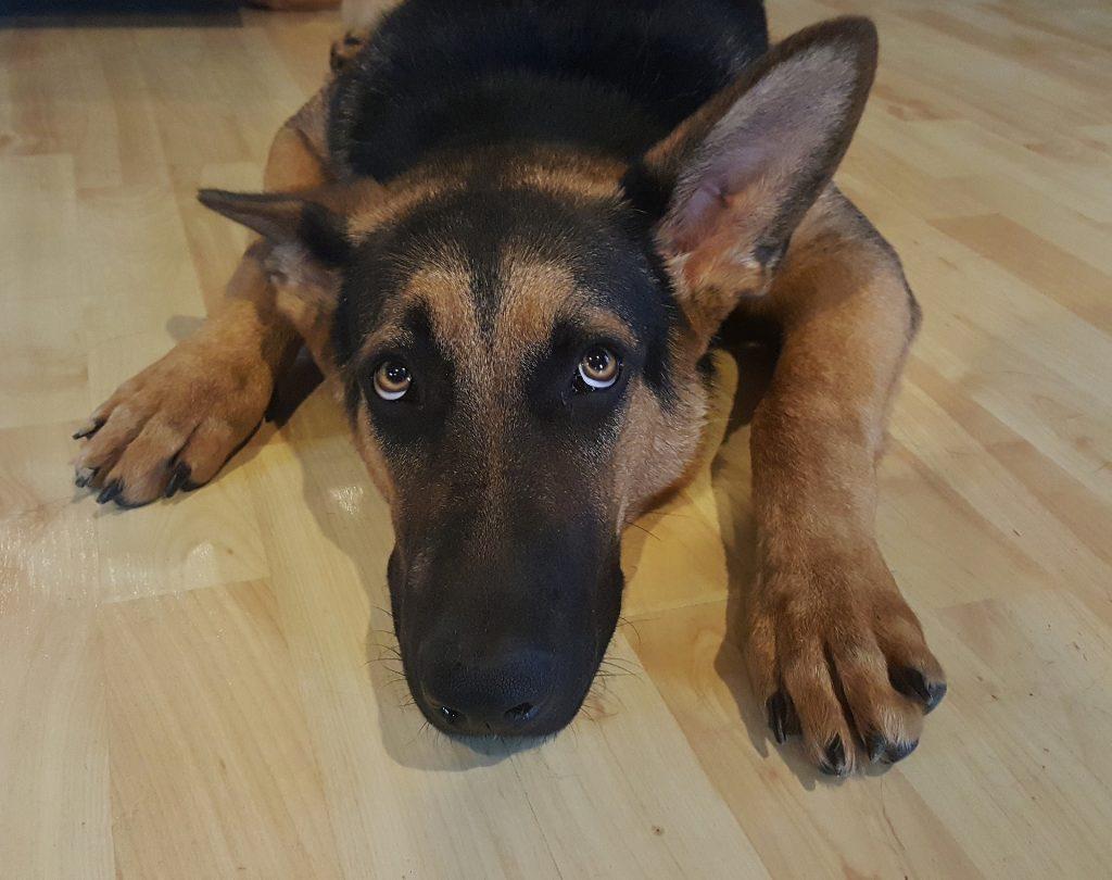 uplasen pas strah kod psa